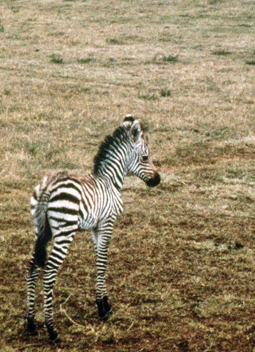 I snapped this photo of a baby zebra with a Kodak Instamatic camera on our trip through East Africa.