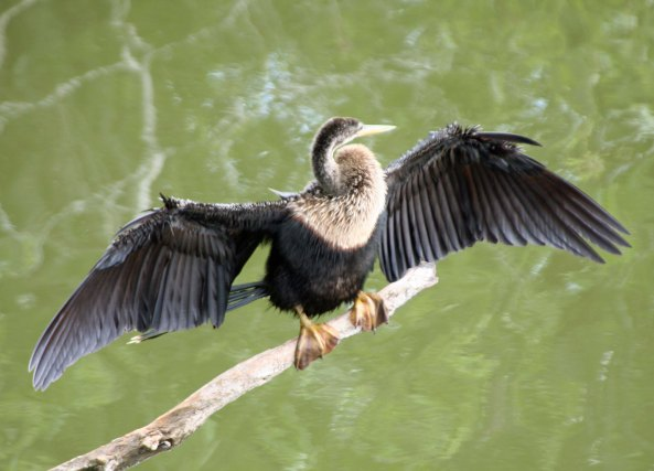 Anhinga in Everglades National Park.