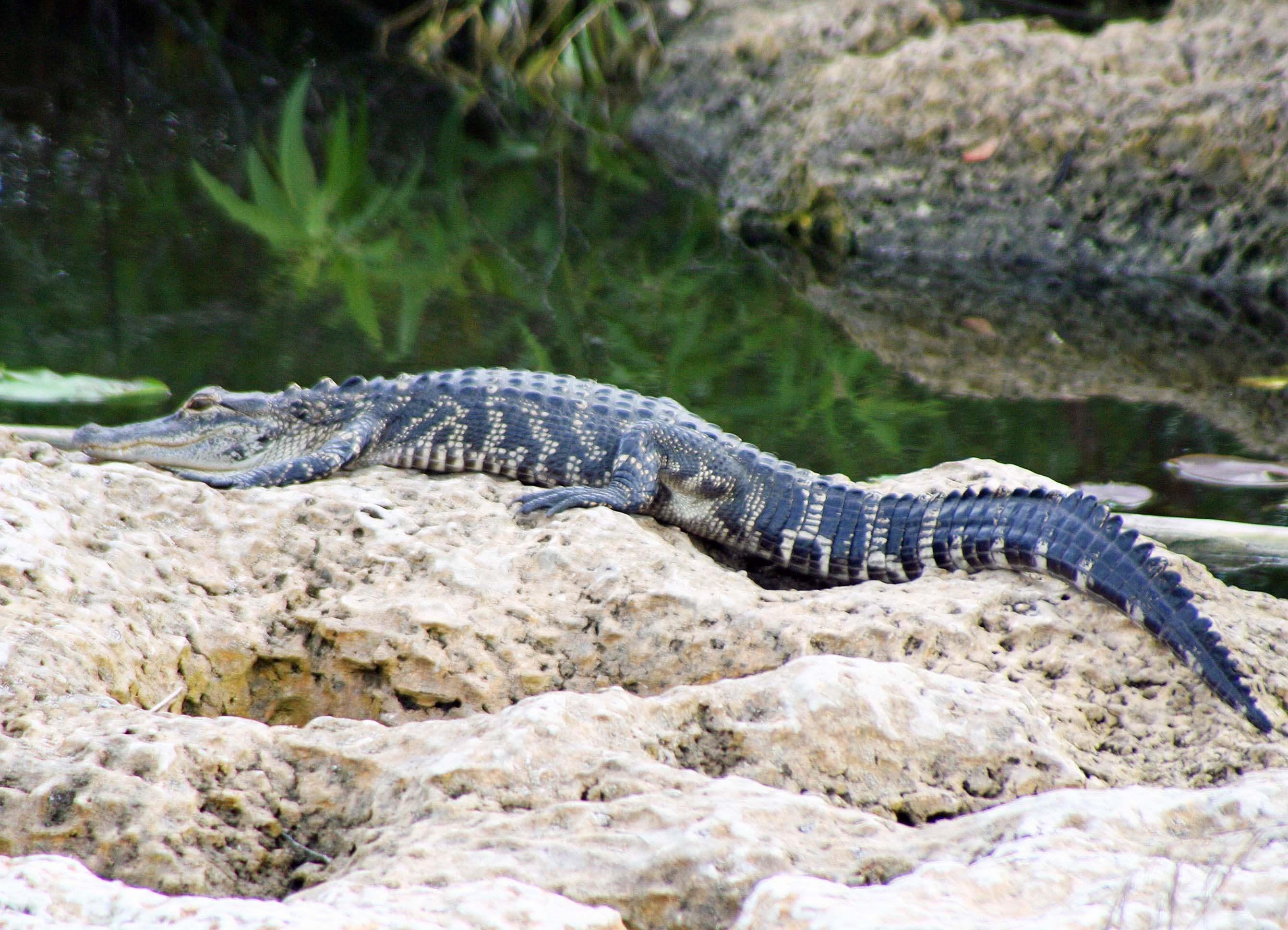 Alligator sunbathing in the Florida Everglades.