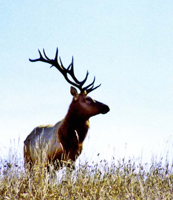 Photo of bull elk at Pt. Reyes National Seashore by Curtis Mekemson.