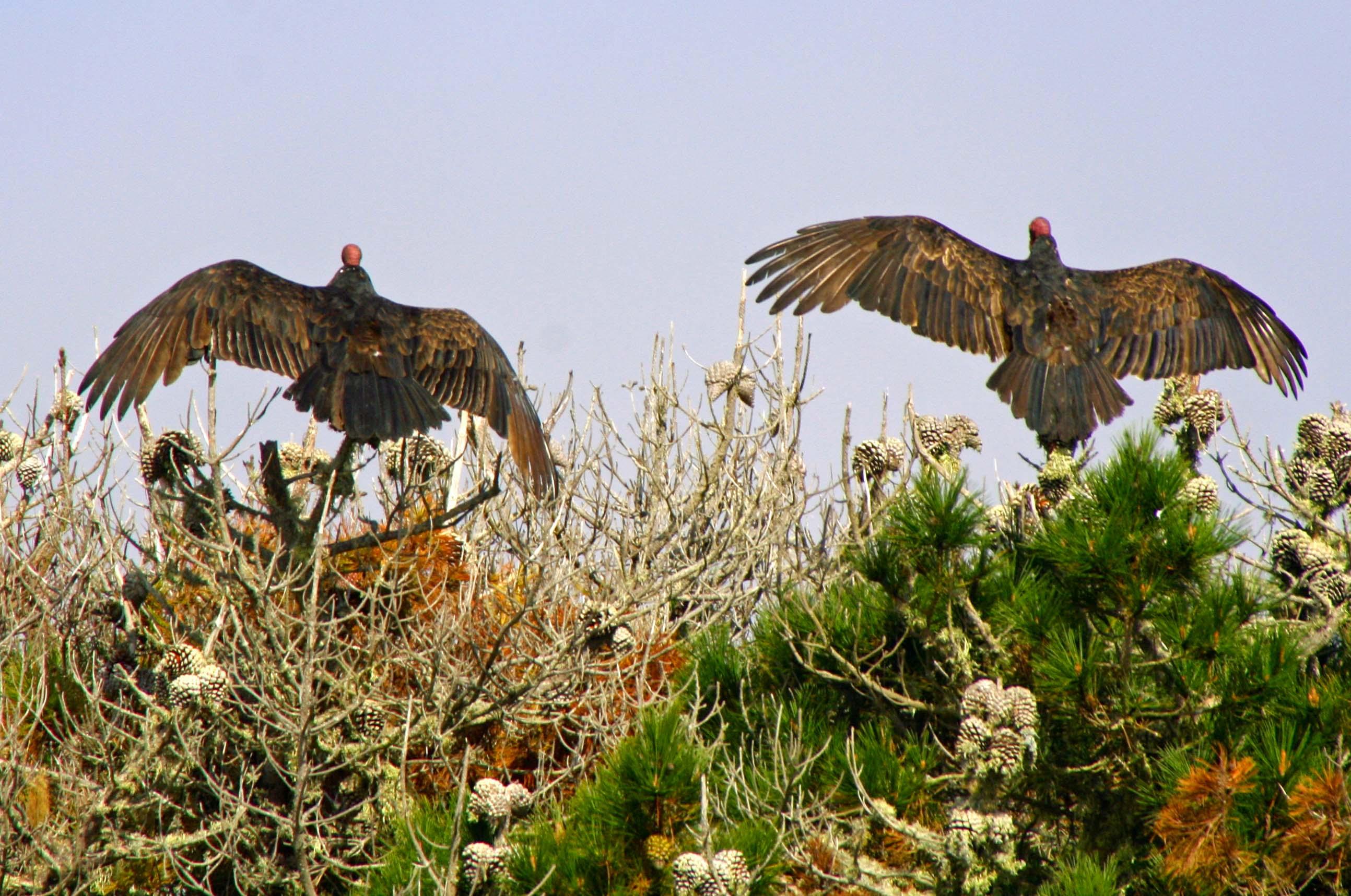 Buzzards dry wings at Pt. Reyes National Seashore.