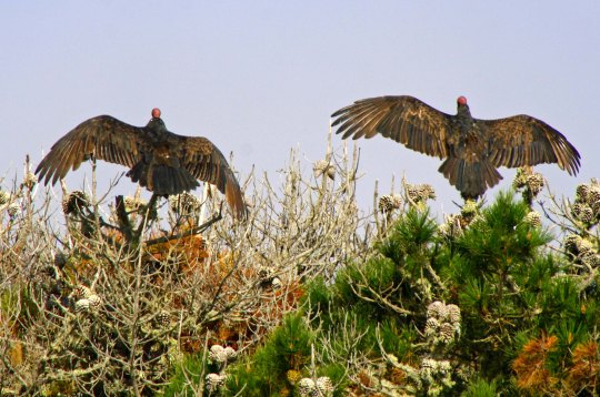 Buzzards dry wings at Pt. Reyes National Seashore.