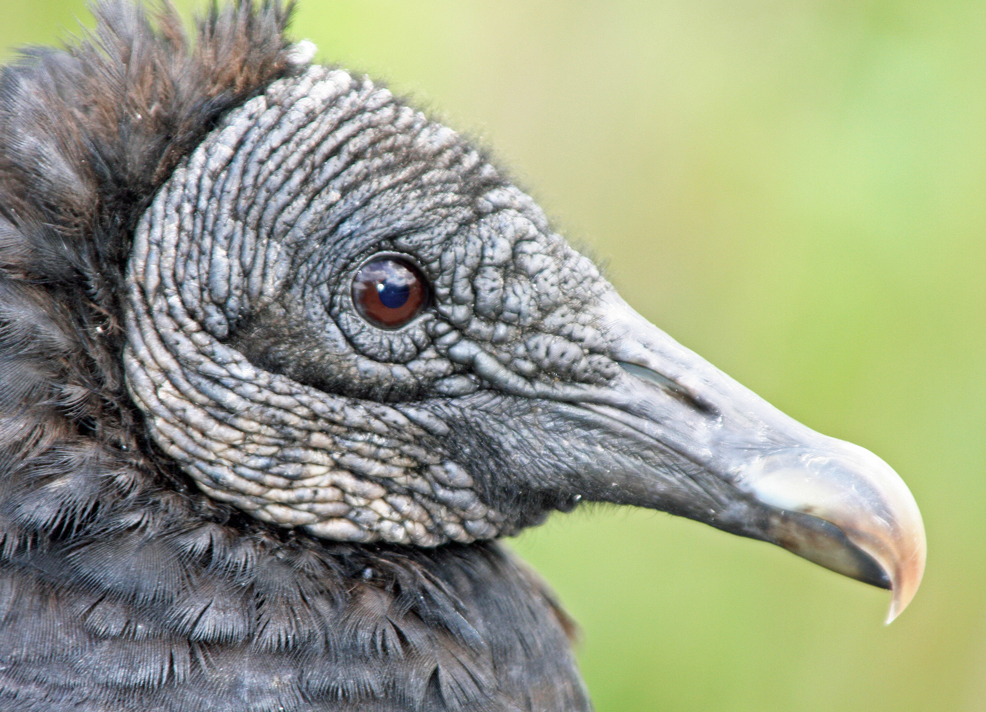 Photo of a Black Buzzard in Everglades National Park. Photo by Curtis Mekemson.