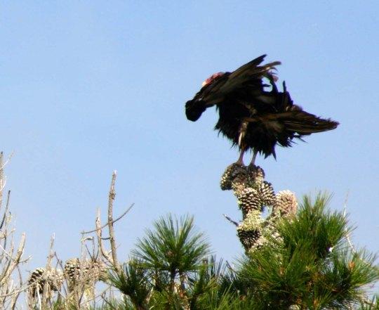 Buzzards feathers gor awry on Limantour Beach.