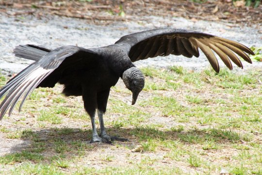 Florida Everglades Black Buzzard take a bow. Photo by Curtis Mekemson.