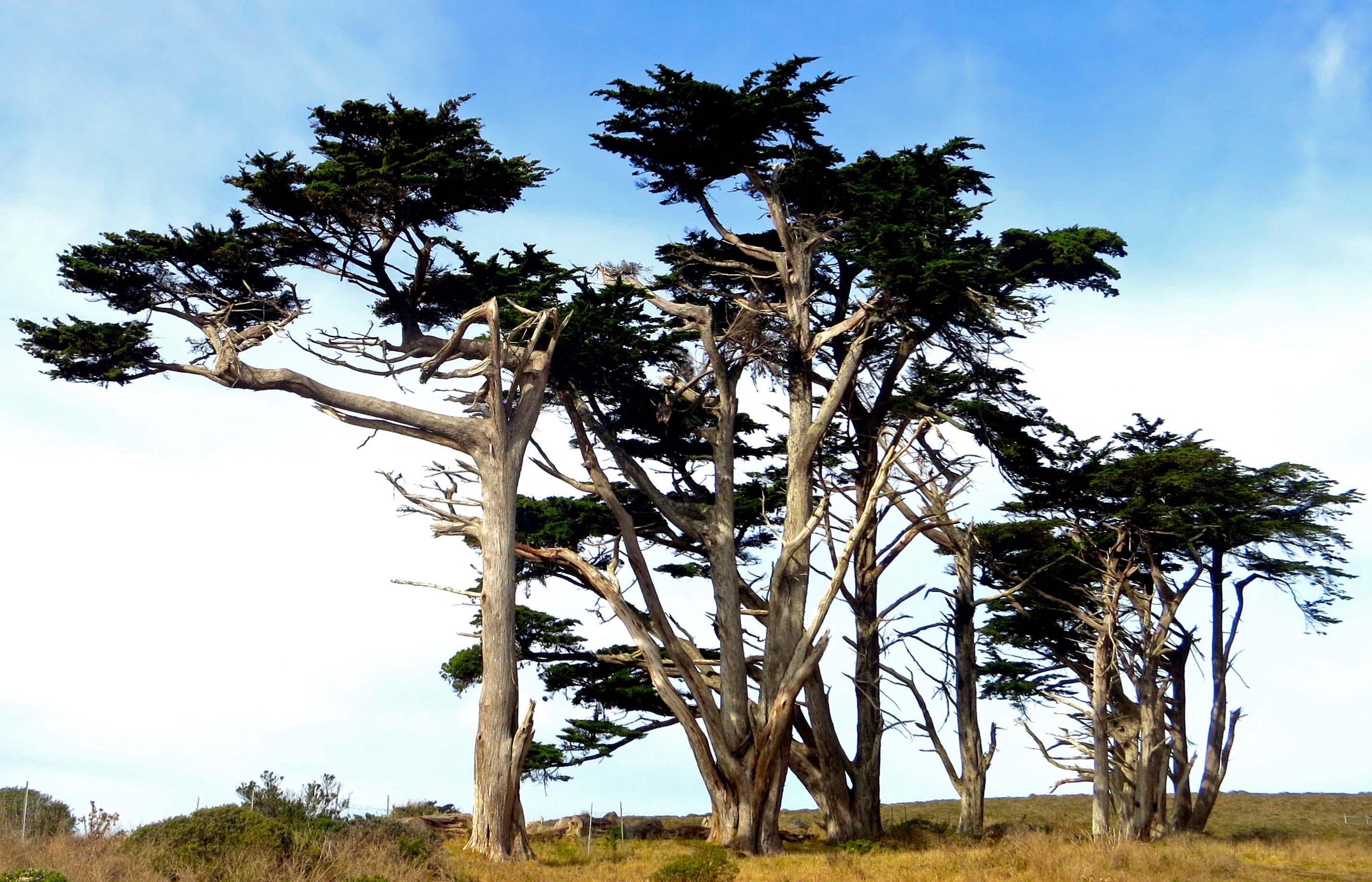 Photo of cypress tree wind break on Pierce Ranch inPt. Reyes National Seashore. Photo by Curtis Mekemson.