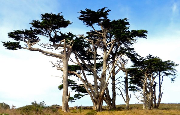 Photo of cypress tree wind break on Pierce Ranch inPt. Reyes National Seashore. Photo by Curtis Mekemson.