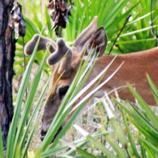 Everglade deer photographed by Curtis Mekemson.