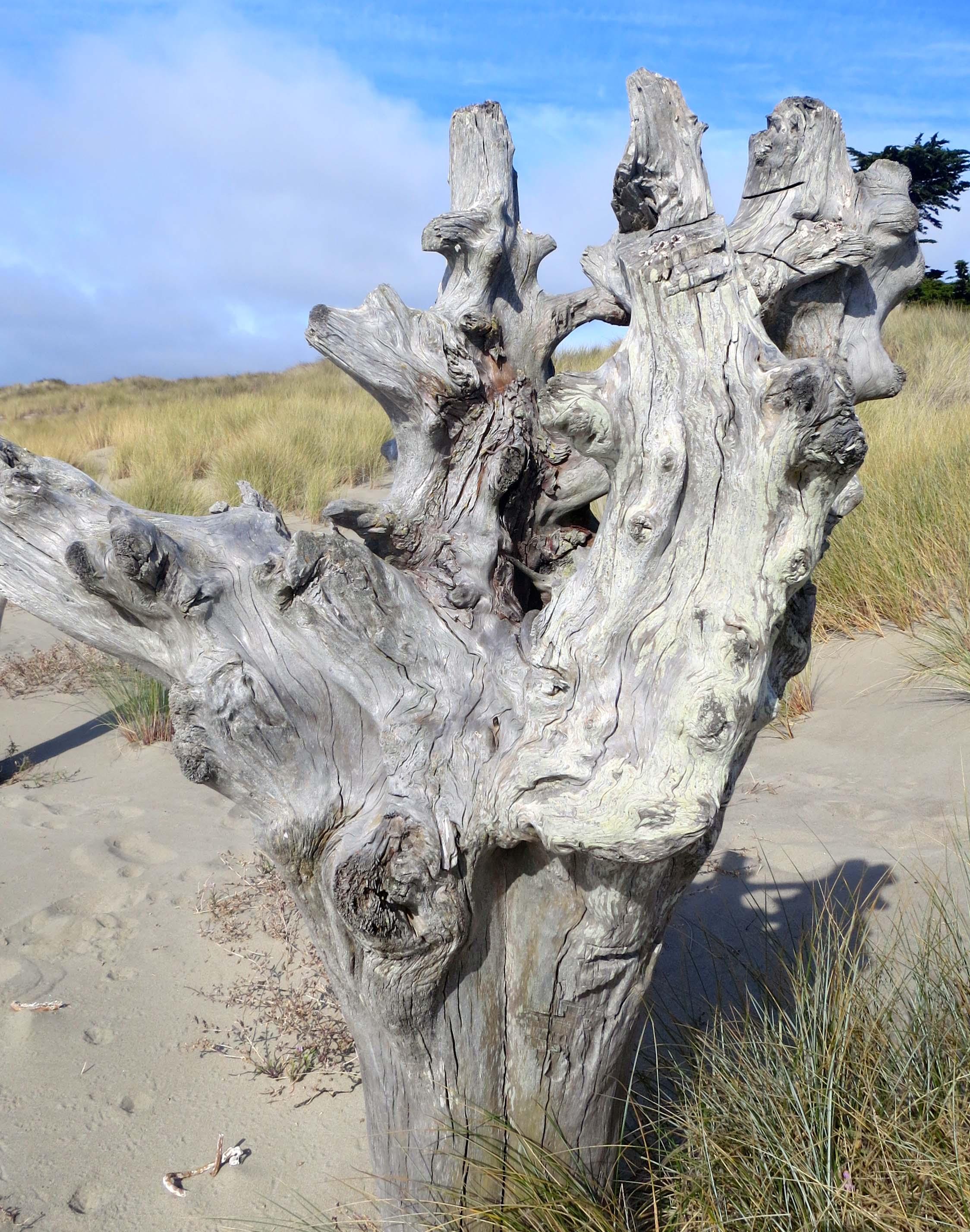 Photo by Curtis Mekemson of driftwood on Limantour Beach at Pt. Reyes National Seashore