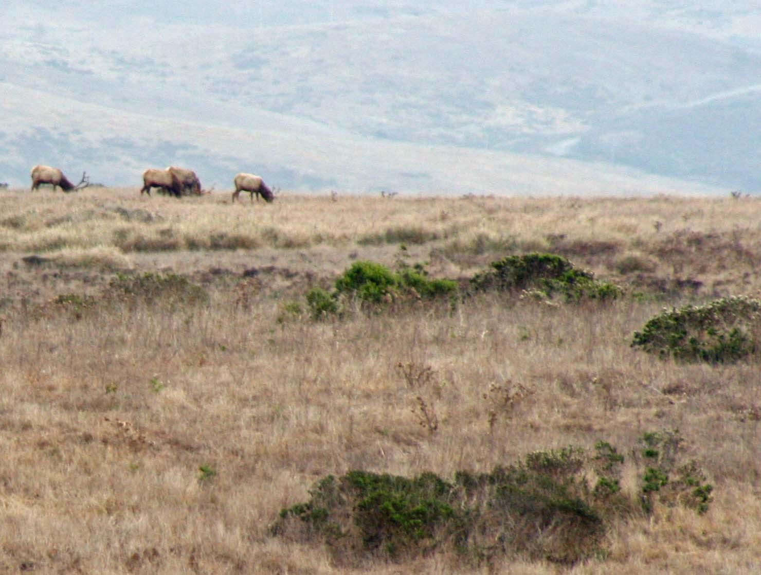 Tule Elk grazing on a hill at the Tule Elk Preserve at Pt. Reyes National Seashore.