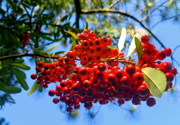 These red berries decorated a neighbors yard. As I recall from my youth in California, we called them California Holly.