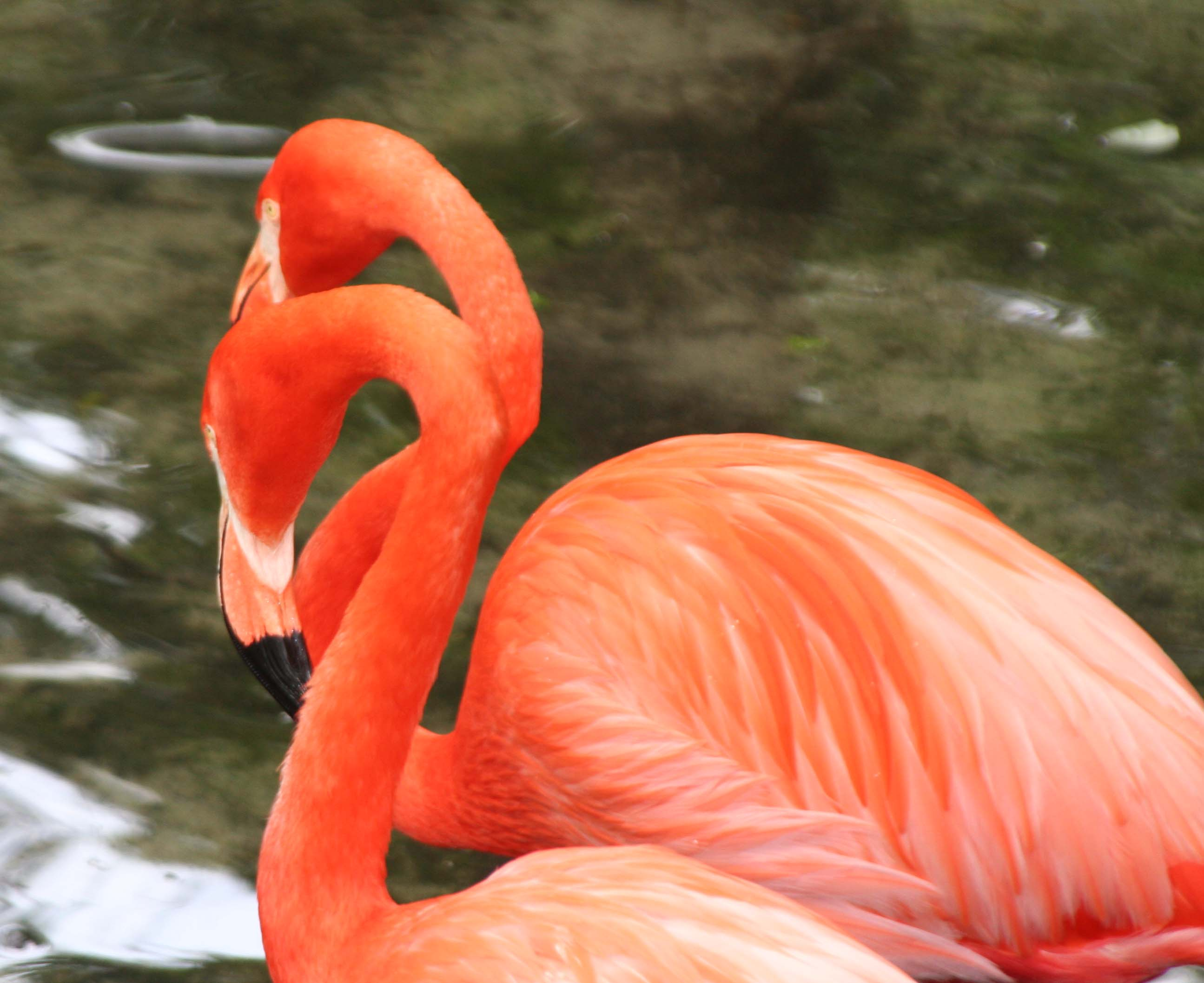 Photo of Flamingos by Curtis Mekemson.