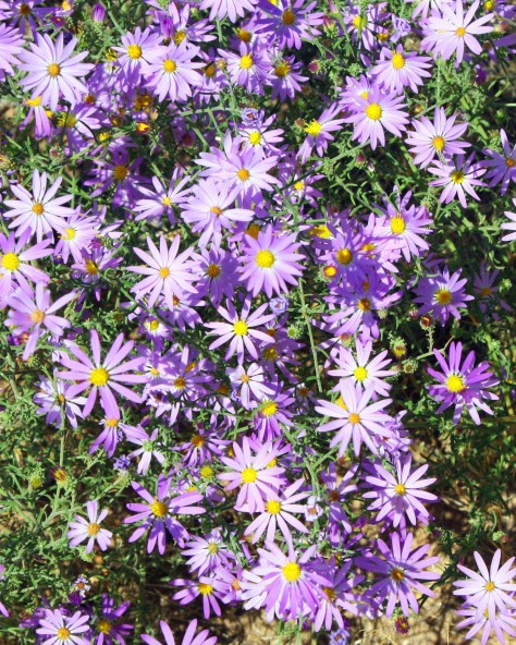 Asters in Dinosaur National Monument. Photo by Curtis Mekemson.