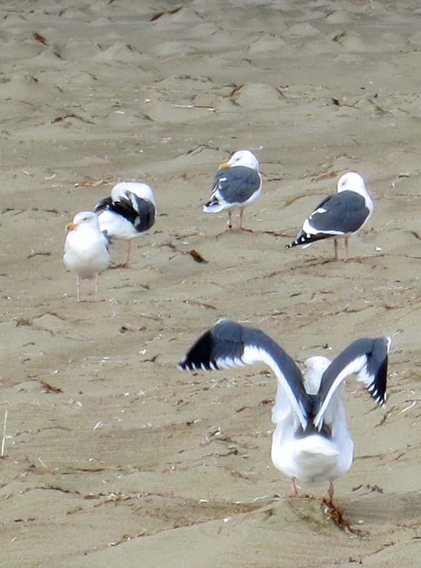 Sea gulls on Limantour Beach at Pt. Reyes National Seashore. Photo by Curtis Mekemson.