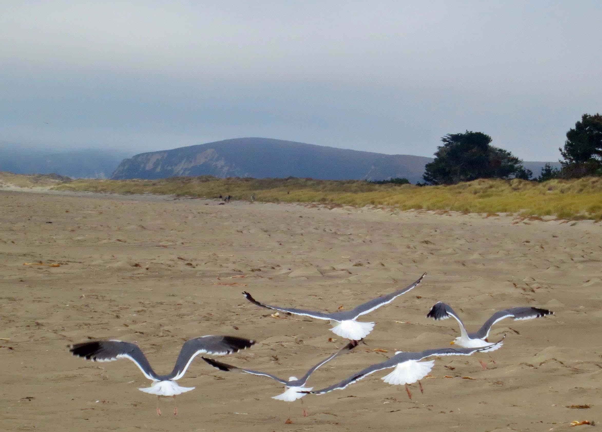 Sea gulls in flight on Limantour Beach at Pt. Reyes National Seashore. Photo by Curtis Mekemson.