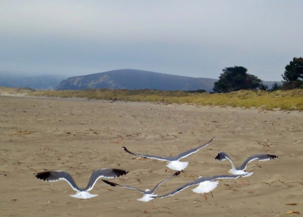 Sea gulls in flight on Limantour Beach at Pt. Reyes National Seashore. Photo by Curtis Mekemson.