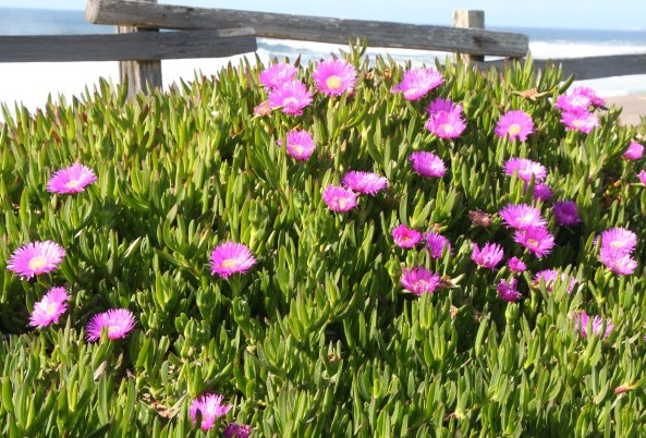 Ice plant at South Beach, Pt, Reyes National Seashore. Photo by Curtis Mekemson.