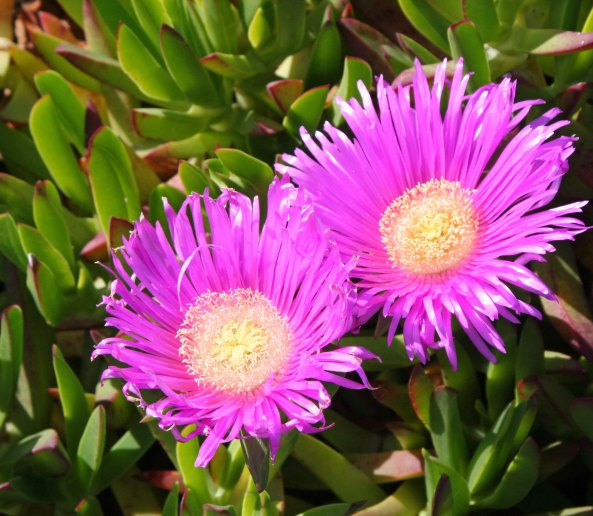 Close up of ice plant at South Beach, Pt. Reyes National Seashore.