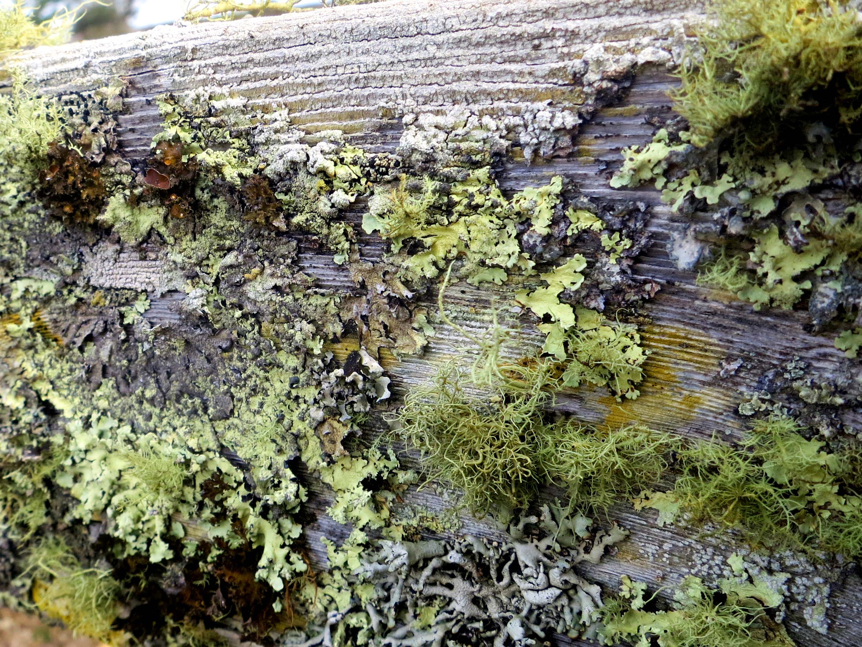 Lichens found on a fence on Pierce Ranch at Pt. Reyes National Seashore. Photo by Curtis Mekemson.