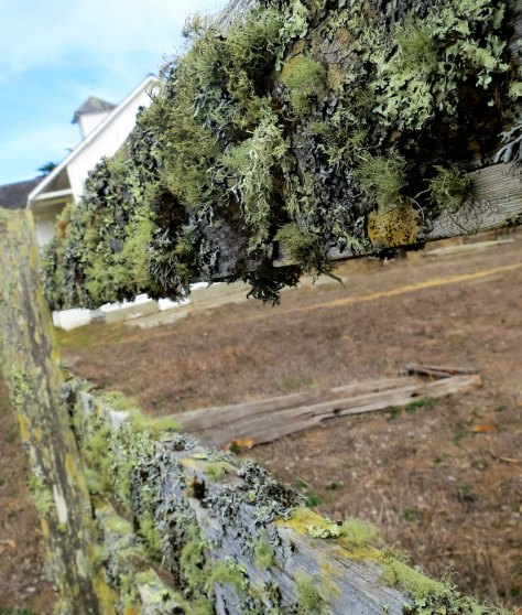 Photo of a lichen covered fence at Pt. Reyes National Seashore.