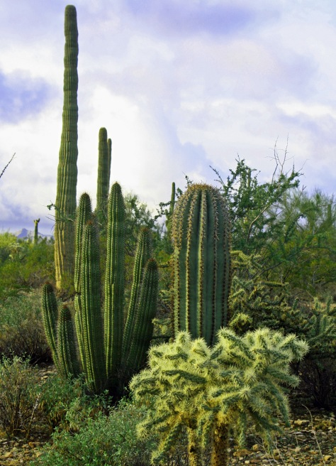 Cactus garden in Organ Pipe Cactus National Monument. Photo by Curtis Mekemson.