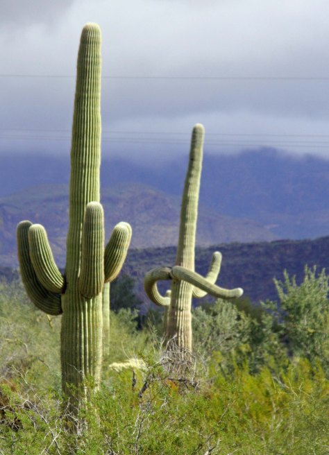 Saguaro Cactus in Organ Pipe National Monument. Photo by Curtis Mekemson.