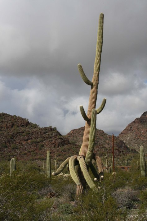 Multi-armed Saguaro Cactus in Arizona. Photo by Curtis Mekemson.