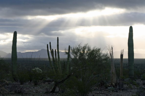 Two Saguaros and an Organ Pipe Cactus in Organ Pipe national Monument. Photo by Curtis Mekemson.