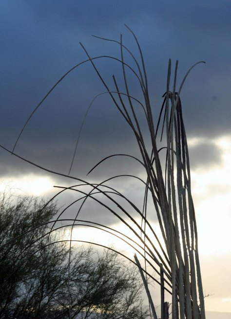 "The ""bones' of a Saguaro at Organ Pipe Cactus National Monument. Photo by Curtis Mekemson."
