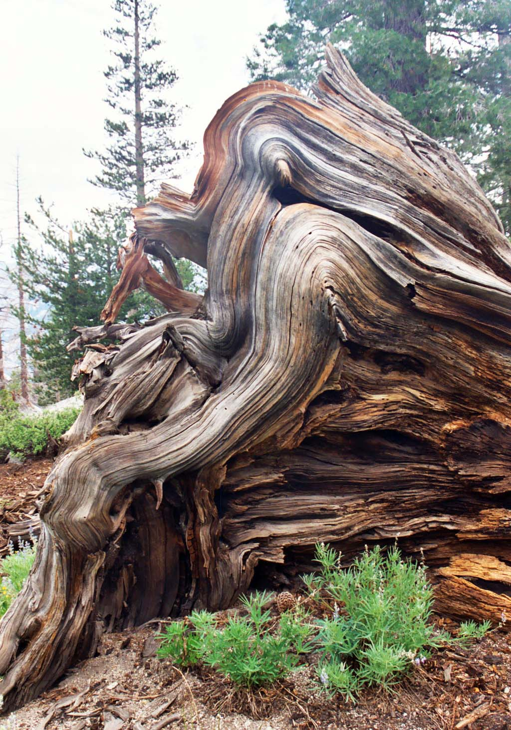 Pacific Crest trail downed tree displays beautiful grains of wood in its roots. Photo by Curtis Mekemson.