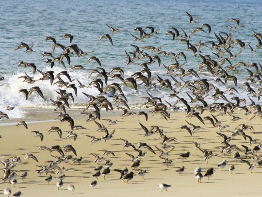 Sanderlings take flight at Pt. Reyes National Seashore on Limantour Beach. (Photo by Peggy Mekemson.)