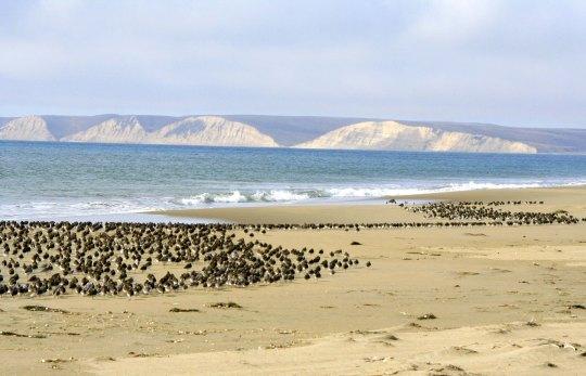 Sanderlings on Limantour Beach at Pt. Reyes national Seashore.