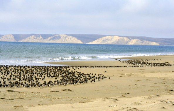 Sanderlings on Limantour Beach at Pt. Reyes national Seashore.
