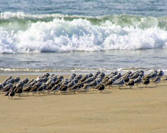 Shore, sea and sanderlings meet on Limantour Beach at Pt. Reyes National Seashore. (photo by Peggy Mekemson.)