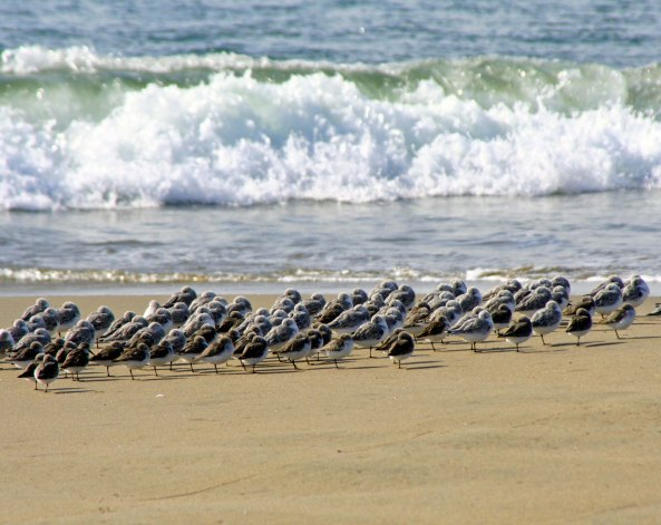 Shore, sea and sanderlings meet on Limantour Beach at Pt. Reyes National Seashore. (photo by Peggy Mekemson.)