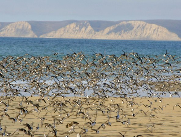 Flock of flying Sanderlings at Limantour Beach, Pt. Reyes National Seashore.