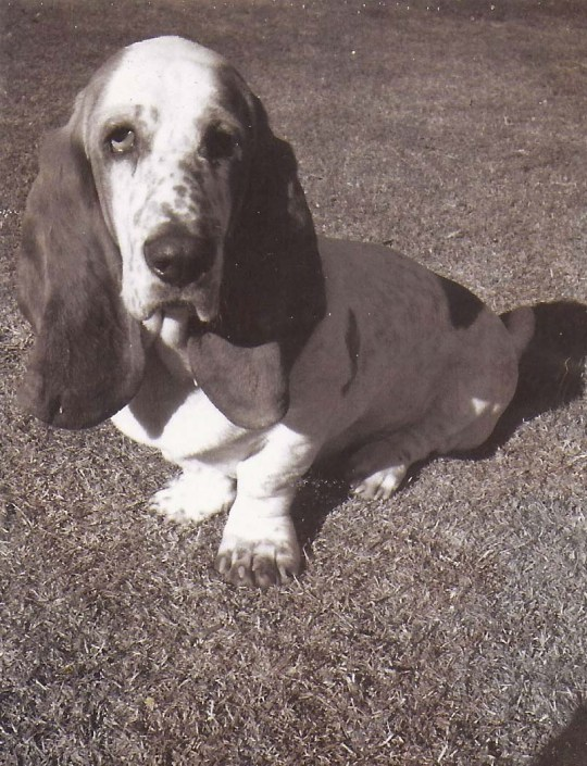 Photo of Socrates the Basset Hound by Curtis Mekemson