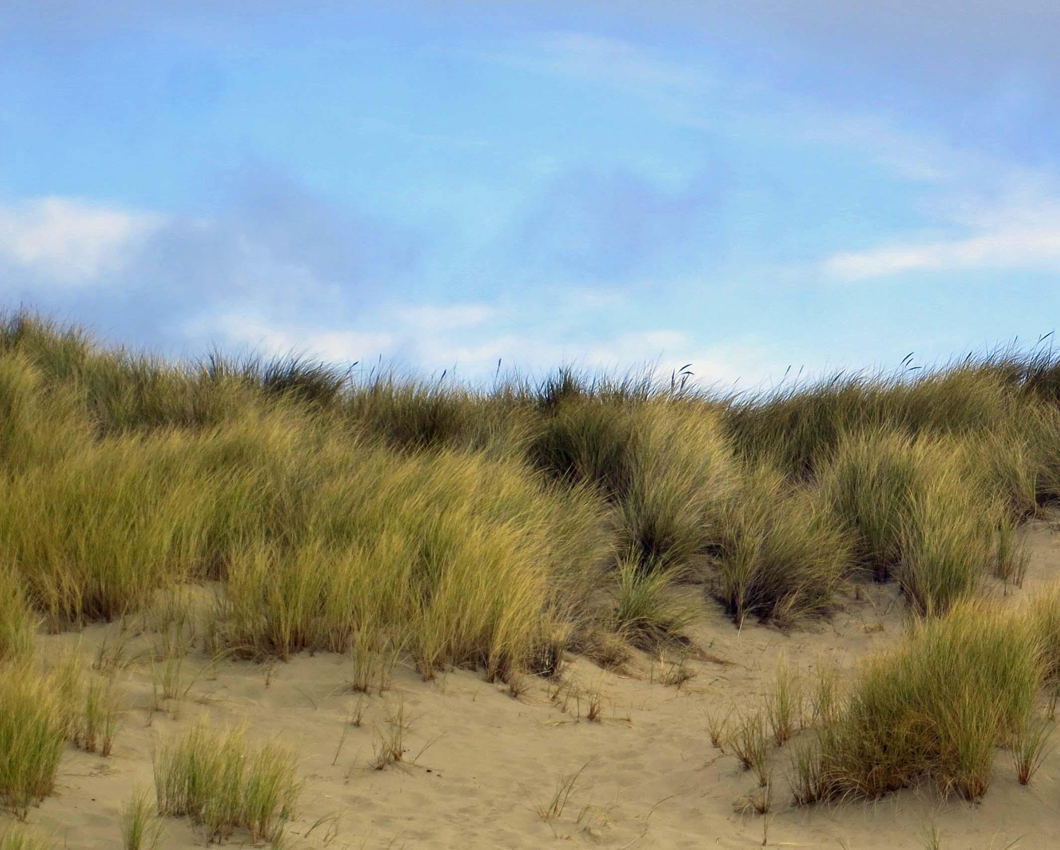 Photo of grass on Limantour Spit taken by Curtis Mekemson.