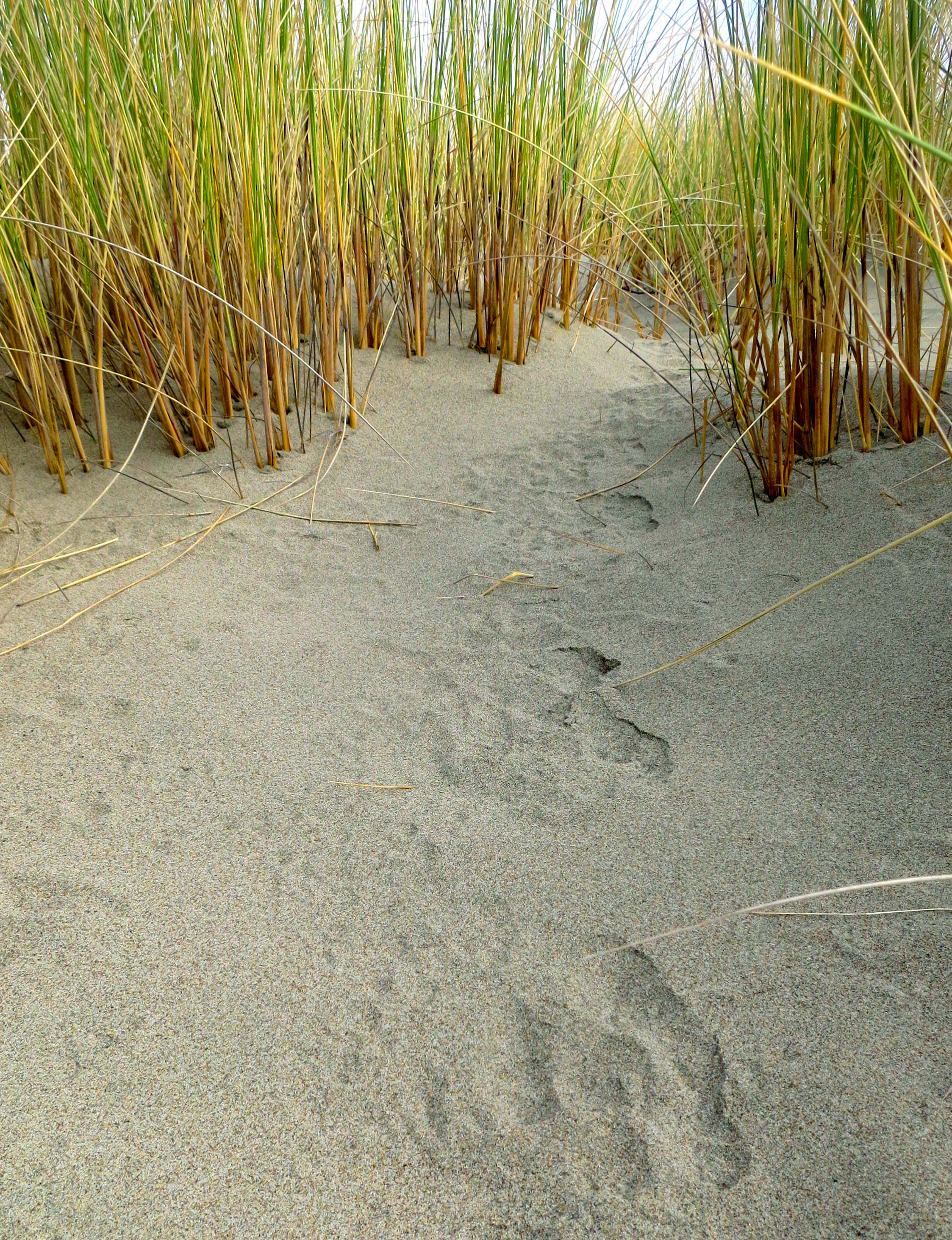 These tracks represent a virtual freeway into the grass on the spit.