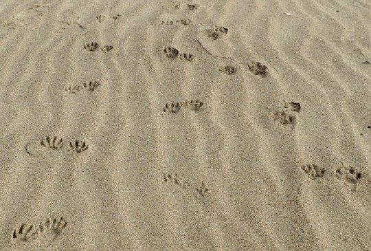 Raccoons leave tracks on Limantour Beach, Pt. Reyes National Seashore. Photo by Curtis Mekemson.