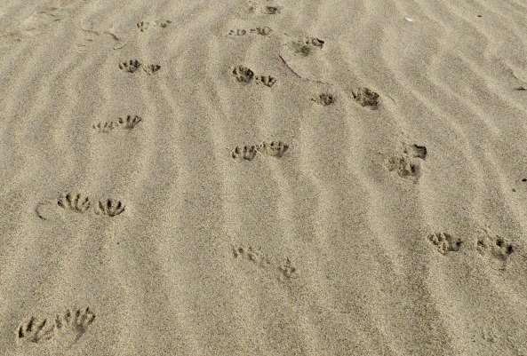 Raccoons leave tracks on Limantour Beach, Pt. Reyes National Seashore. Photo by Curtis Mekemson.