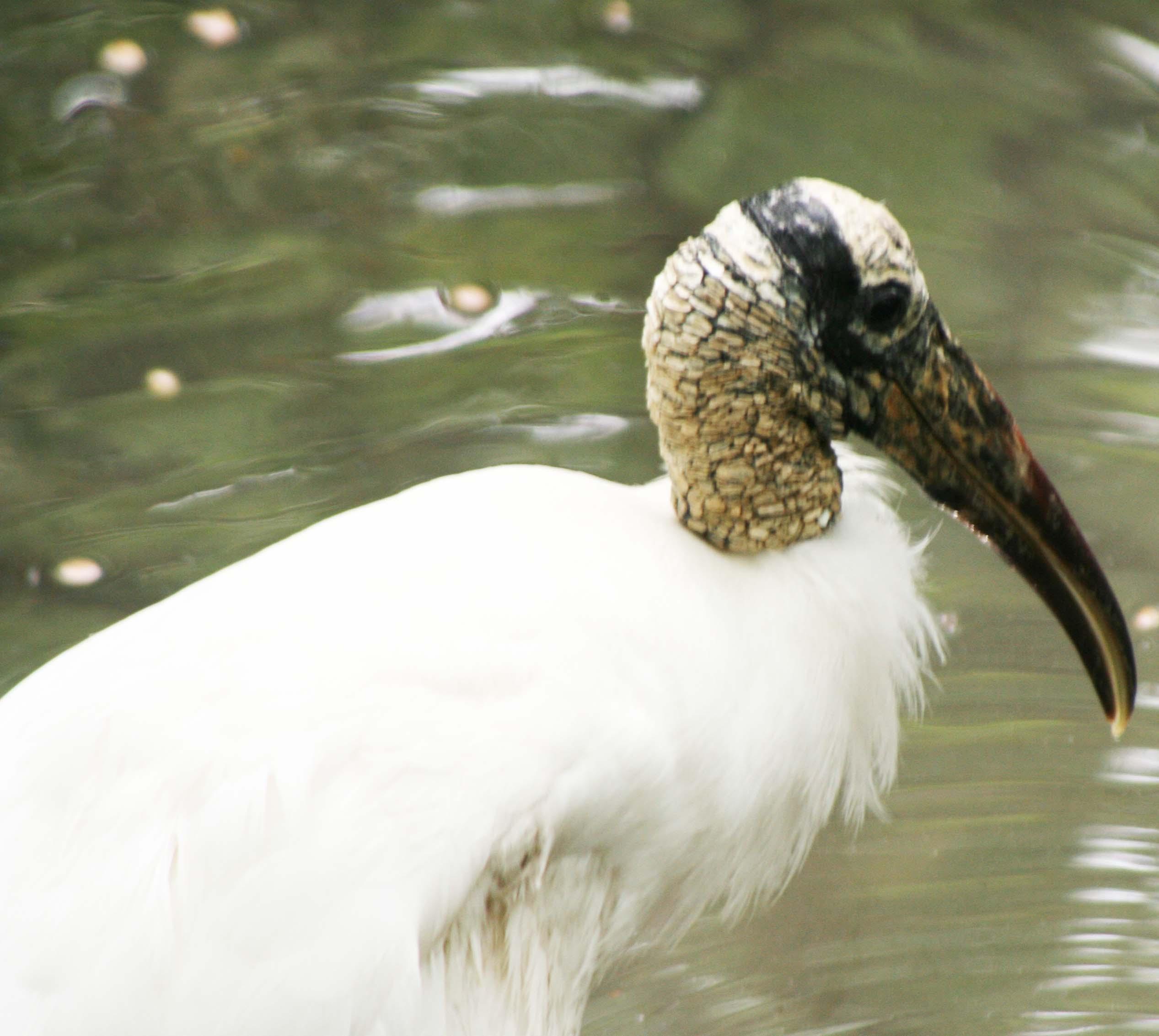 Photo of Wood Stork in Everglades by Curtis Mekemson.