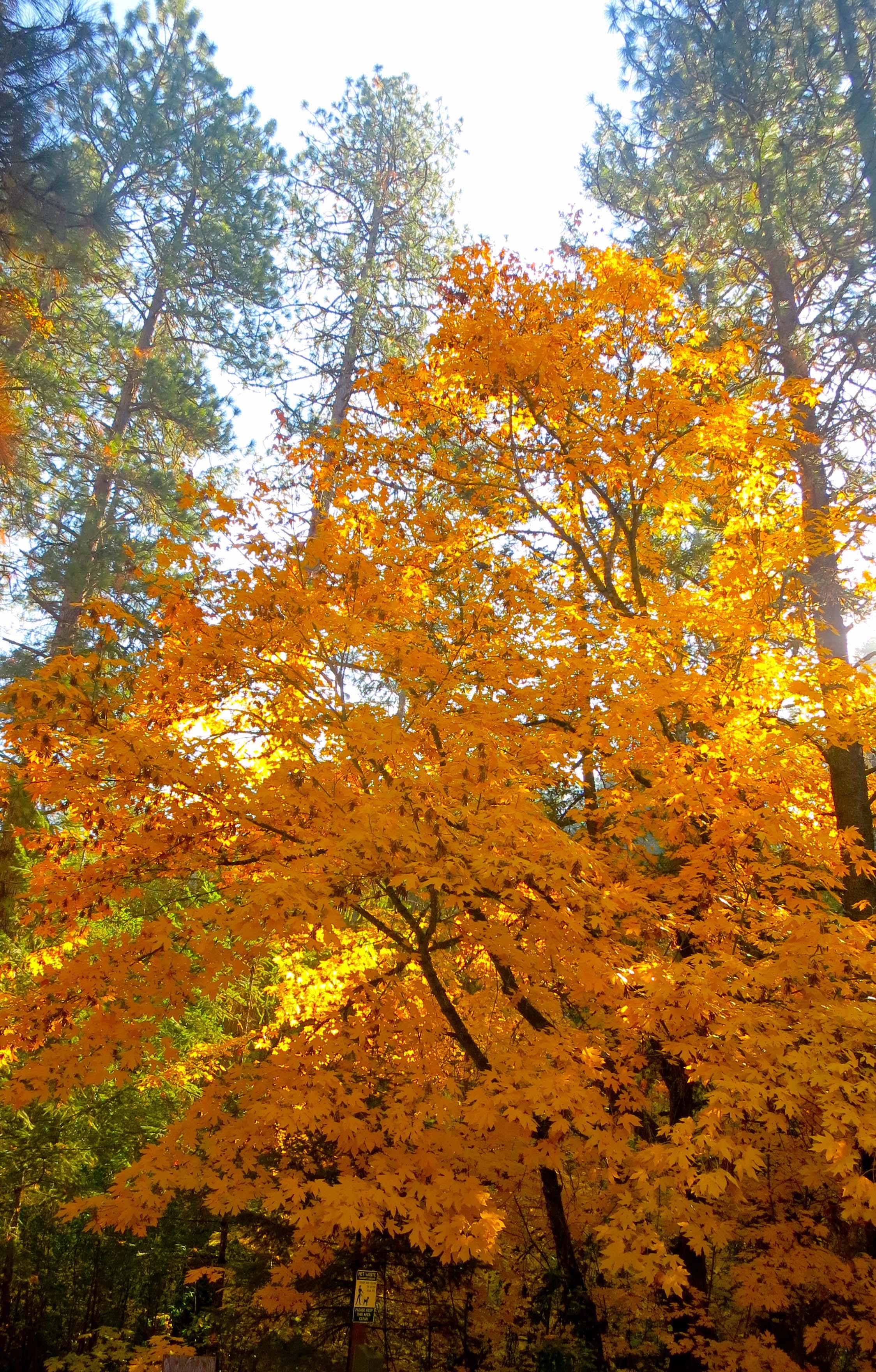 Oregon Maple photo by Curtis Mekemson.