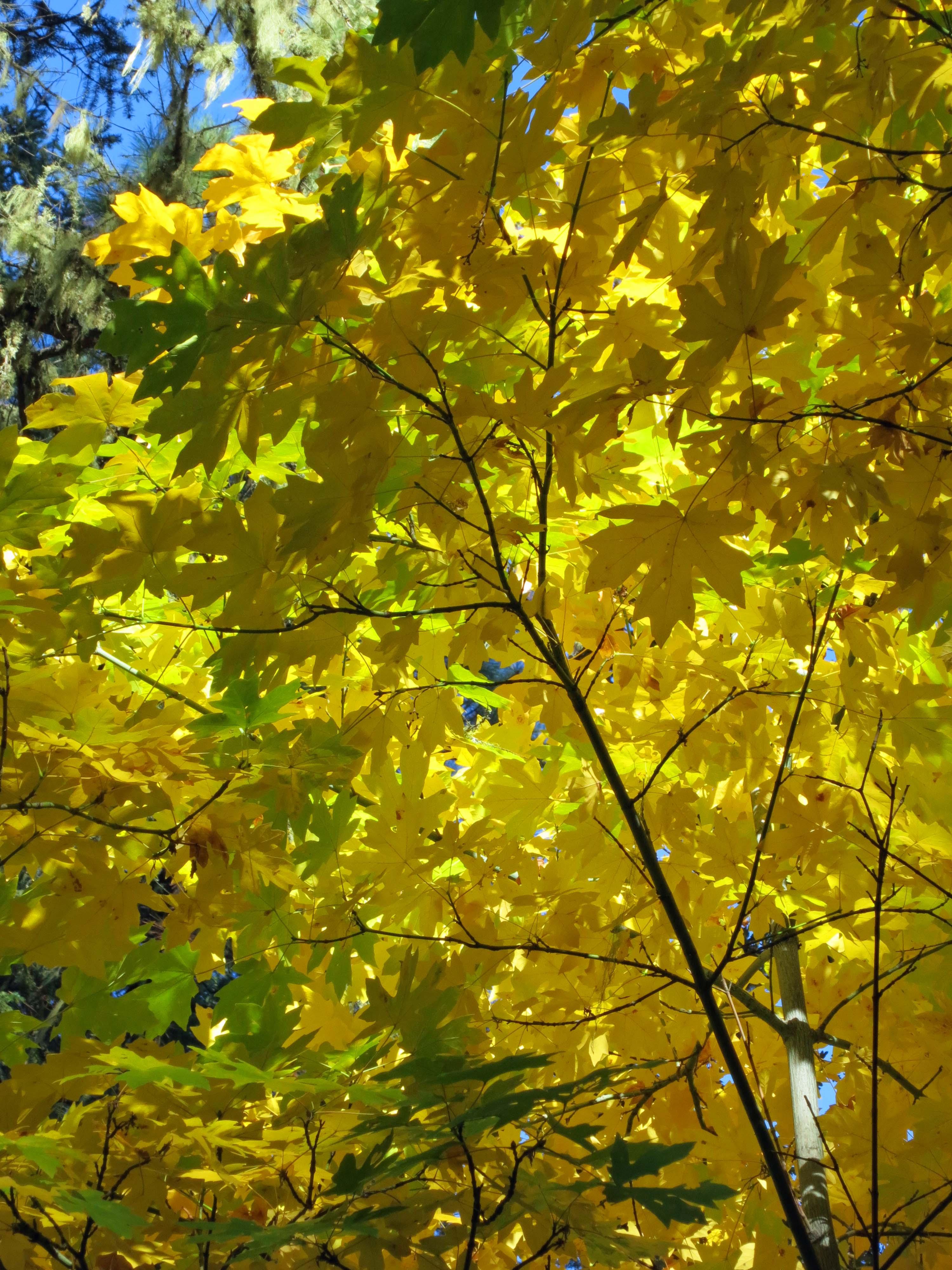Photo of Oregon Maple by Curtis Mekemson.