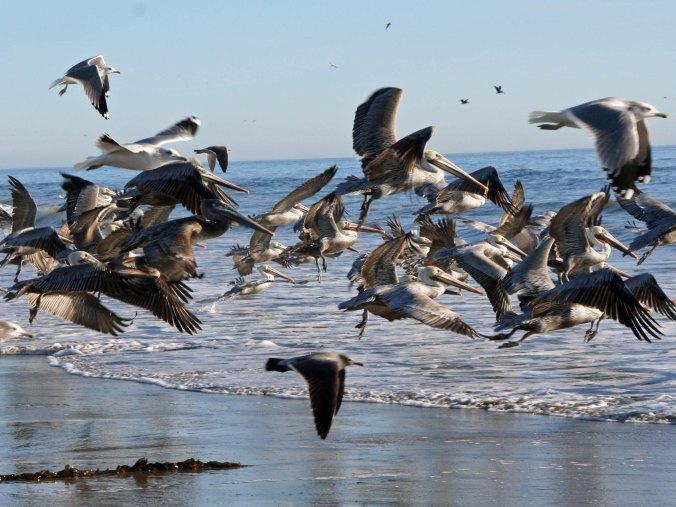 California Brown Pelicans in flight. Photo by Curtis Mekemson.