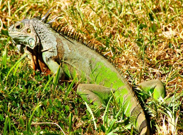 A Mexican Green Iguana. Photo by Curtis Mekemson.