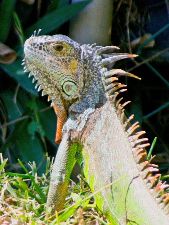 Green Iguana in Puerto Vallarta Mexico. Photo by Curtis Mekemson.
