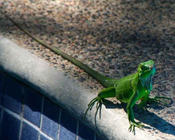 Baby iguana in Puerto Vallarta. Photo by Curtis Mekemson.