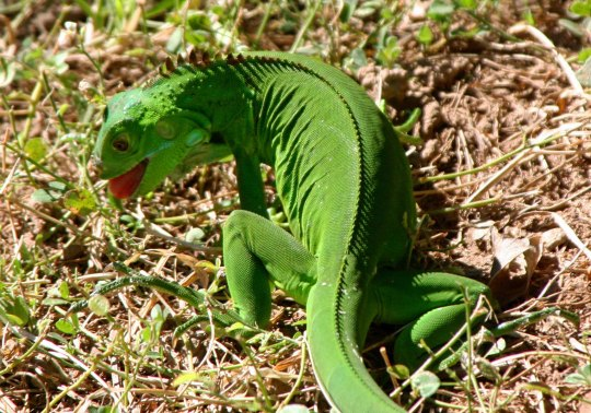 Young iguana grazing on grass in Puerto Vallarta, Mexico. Photo by Curtis Mekemson.