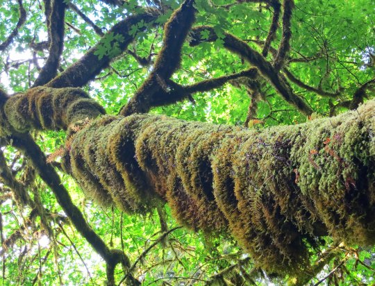 Moss coverend tree at Redwood National Park. Photo by Curtis Mekemson.